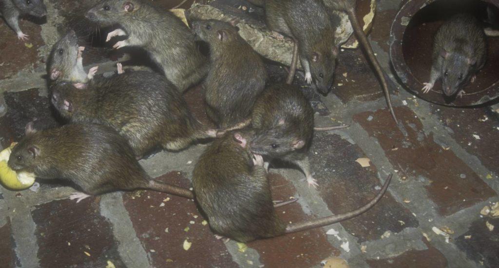 уничтожение крыс в Ижевске
